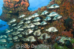 School of snappers by Rob De Vries