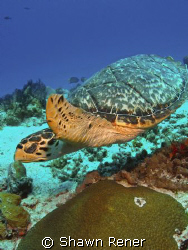 Hawksbill Turtle, Eretmochelys imbriocota- Brown shells w... by Shawn Rener