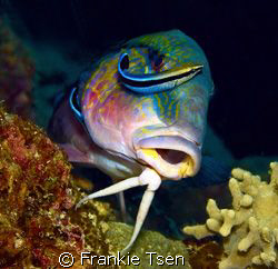 A pair of cleaner wrasse cleaning Goatfish. D70s, 60mm. K... by Frankie Tsen