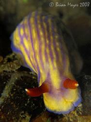 Nudibranch (Hypselodoris whitei) crawling over a ridge...... by Brian Mayes