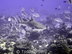 School of Jacks chasing away a grey reef shark.  Check ou... by Todd Karberg