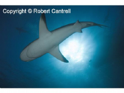 Caribbean Reef Shark shot with a D200 in an Ikelite housing. by Robert Cantrell