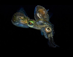 Rare mating dumpling squid photographed in the cold water... by Cal Mero