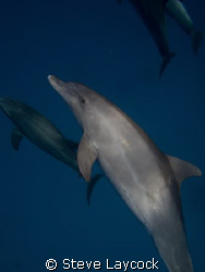 a pod of wild dolphins come to join the dive by Steve Laycock