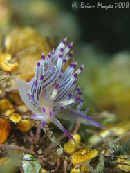 A Red-Lined Flabellina (Flabellina rubrolineata) at dive ... by Brian Mayes