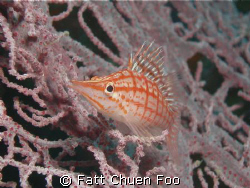 Longnose Hawkfish, Pulau Weh, Aceh Taken with Olympus SP3... by Fatt Chuen Foo