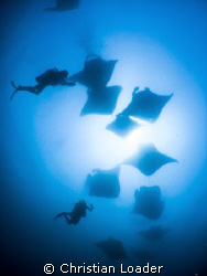 Just some of the 100+ Mantas at Hanifaru today!   Olymp... by Christian Loader