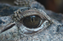 Salt water croc by Todd Karberg