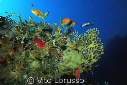 Corals - Millepora dichotoma by Vito Lorusso