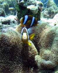 2 Banded Anemone Fish near Green Island on the Great Barr... by Sam Kidd