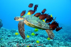 Green sea turtle at a cleaning station in Kona. by Stuart Ganz