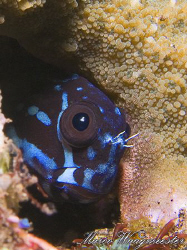 Blenny Is At Home. (Canon G9, Inon D2000w, UCL165) by Marco Waagmeester
