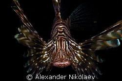 Lionfish. Inchkape-II, Fujeira, UAE. by Alexander Nikolaev