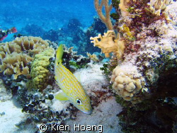 Bluestriped grunt in Cozumel by Kien Hoang