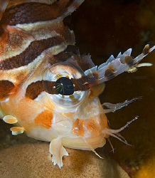 Spotfin Lionfish (Pterois antennata) in Anilao, Philippin... by Jim Chambers