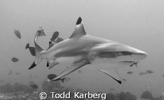Black tip reef shark in Moorea French Polynesia.  If you'... by Todd Karberg