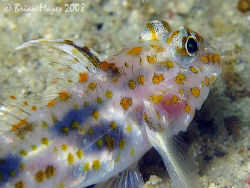 A colourful but timid Blotched Goby (Coryphopterus infram... by Brian Mayes