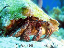 Ole Shy Blue Eyes [Hermit Crab] by Walt Hill