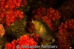 Trunkfish. Canon 40D, Sigma 50mm 1:2.8 DG MACRO. by Alexander Nikolaev