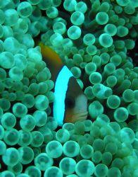 Nemo Hiding...closeup taken at Saxon Reef on the Great Ba... by Sam Kidd