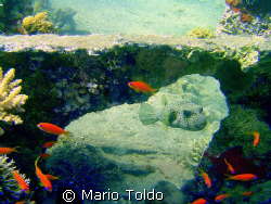 Pufferfish under coral bridge by Mario Toldo