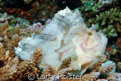 White Leaf Fish, D70s, lens 70mm, twin Ikelite D125, ISO2... by Larry Polster
