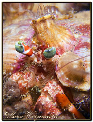 Anemone Hermit Crab Portrait, during a night dive in Sanu... by Marco Waagmeester
