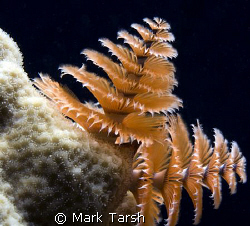 Christmas Tree Worm in white coral. Nikon D80, 60mm by Mark Tarsh