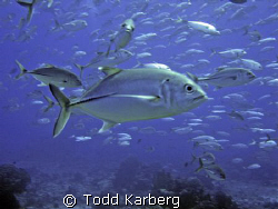 School of jacks, right when I snapped this one swam right... by Todd Karberg