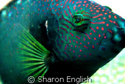 Napoleon Wrasse by Sharon English