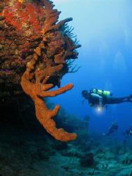 Brown tube sponge. by Juan Torres
