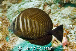 Sailfin Tang by Larry Polster