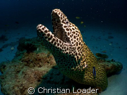 Honeycomb Moray. Baa Atoll, Maldives. Olympus SP350, Inon... by Christian Loader