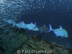 ATTENTION! Trevally on the hunt, Maldives taken with Olym... by Fatt Chuen Foo