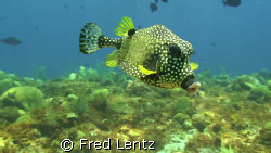 Spotted Trunk fish mid-water by Fred Lentz