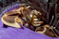 Porcelan Crab fishing for food taken with Canon 400D+60mm... by Patrick Neumann