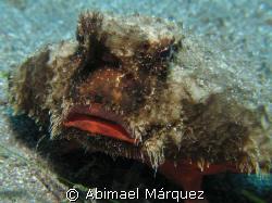Batfish, Saba Island by Abimael Márquez