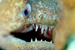 Moray eel, taken w / 60mm macro by Stuart Ganz