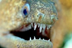 Moray eel, taken w / 60mm macro by Stuart Ganz