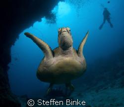 green turtle at the Ribbon Reefs, Australia, D200, wide a... by Steffen Binke