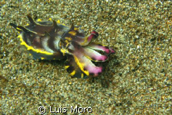 cuttlefish by Luis Moro