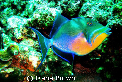Queen Trigger Fish by Diana Brown