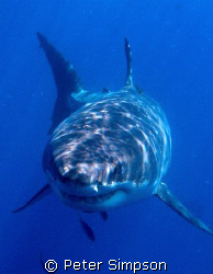 """""""The Business End"""" Photo of a Great White, taken at Guada... by Peter Simpson"""