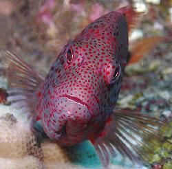 Grouper, Tulamben by Doug Anderson