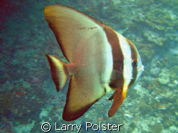 Batfish, D70s, ISO200, f2.8, 1/13 by Larry Polster