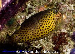 Trunkfish. Canon 40D, SIGMA 50mm macro. by Alexander Nikolaev
