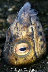 Blacksaddle snake eel. Lembeh Streit. by Ugo Gaggeri