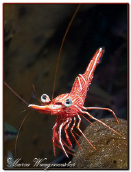 Durban hinge-beak shrimp checking me if i need some clean... by Marco Waagmeester