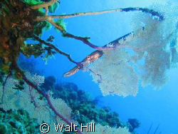 Trumpetfish hiding behind a sea fan. by Walt Hill