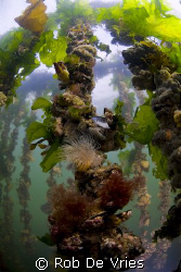 Picture of hanging mussel culture in the Oosterschelde, N... by Rob De Vries